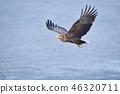 시레토코의 해상을 비행 흰 꼬리 수리 (홋카이도 라우스) 46320711