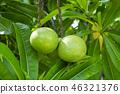 Suicide tree, Pong-pong, Othalanga 46321376