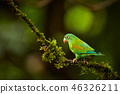 Orange-chinned Parakeet, Brotogeris jugularis 46326211