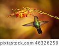 Fiery-throated Hummingbird, Panterpe insignis 46326259