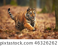 tiger animal wildlife 46326262