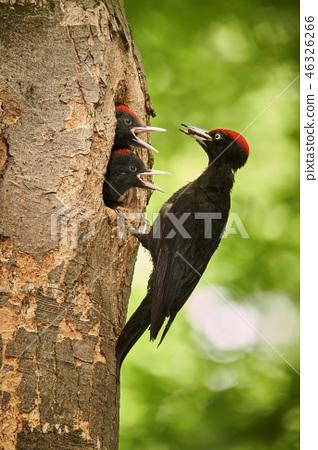 Black woodpecker (Dryocopus martius)  with youngs 46326266