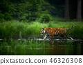 Amur tige in the river. Action wildlife scene 46326308