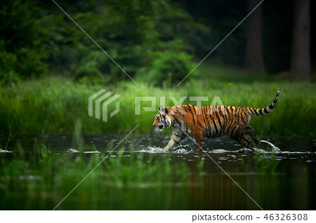 Amur tige in the river. Action wildlife scene 46326308