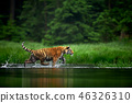 Amur tige in the river. Action wildlife scene 46326310