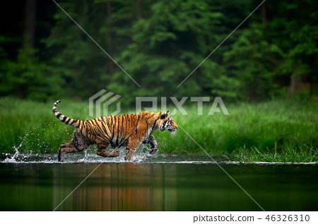 Amur tige in the river. Action wildlife scene 46326310
