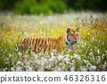 Amur tiger running in the forest. Action wildlife 46326316
