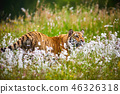 tiger wildlife amur 46326318