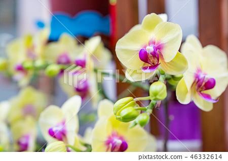 黃色的蘭花花。爬行的蘭花,一個爬行的花品種。阿里(Ari),花蕾,花蕾,flower片。 46332614