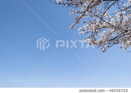 벚꽃 46336729