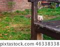 Beige ferret standing near wooden old bench  46338338