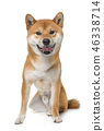 dog shiba inu 46338714