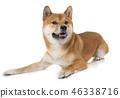 dog shiba inu 46338716