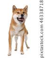dog shiba inu 46338718
