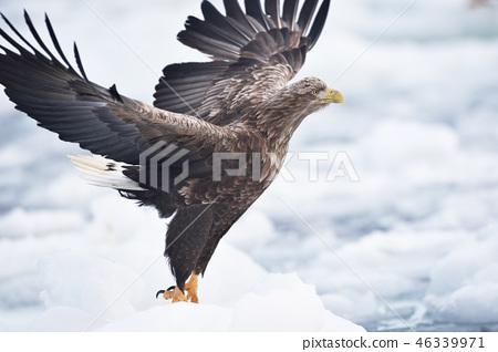 유빙에서 날아 오르는 흰 꼬리 수리 (홋카이도 라우스) 46339971