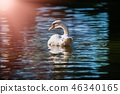 Swan nature bird lake summer color water live 46340165