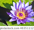 water lily/ pond/ park 46351112