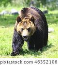 불곰 46352106