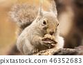 松鼠咬核桃 46352683