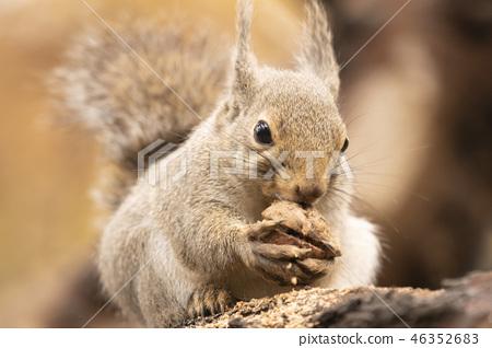 호두를 갉아 먹는 다람쥐 46352683