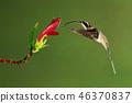 The long-billed hermit (Phaethornis longirostris) 46370837