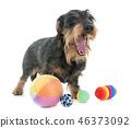 Wire haired dachshund 46373092
