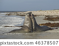 Southern Elephant Seals 46378507