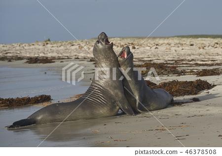 Southern Elephant Seals 46378508