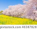 봄 쿠마 가이 사쿠라 즈 츠미 46387828
