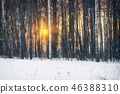 Birch tree forest at winter sunset 46388310