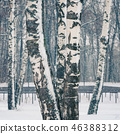 Birch forest at snowstorm 46388312