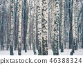 Birch forest at snowstorm 46388324