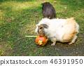 Guinea pigs 46391950
