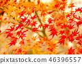 maple, yellow leafe, autumn 46396557