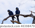 Couple of Hyacinth macaw, Brazilian wildlife 46398479
