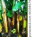 香蕉樹 46398574