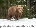 grizzly, snow, animal 46399163
