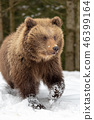 grizzly, snow, animal 46399164