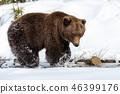 bear, forest, winter 46399176