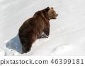 bear, forest, winter 46399181