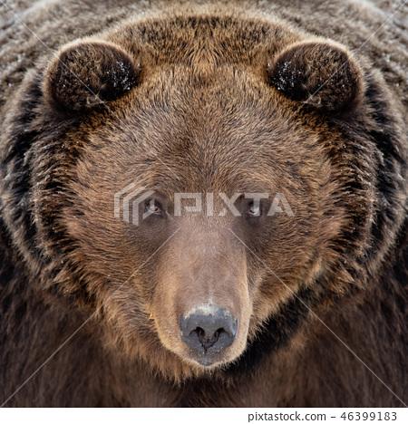 Close bear portrait 46399183