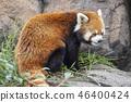 Lesser panda 46400424