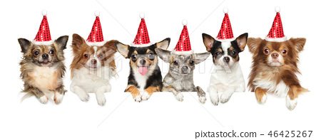 Group Chihuahua dogs in Santa red hats 46425267