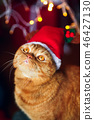 Christmas cat. Red british cat sitting with a Christmas garland at home 46427130