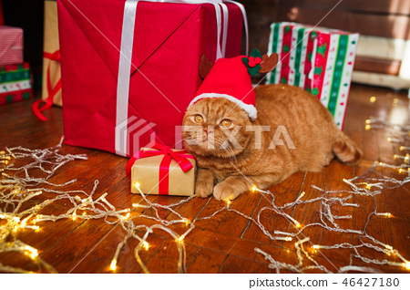 British red cat in Santa hat lying with a Christmas garland near gifts at home. Christmas cat 46427180