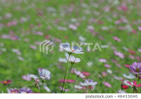 大波斯菊,大波斯菊田地,花園 46433040