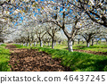Rows of blossoming in white cherry trees 46437245
