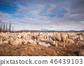 Flock of sheep with lambs.  46439103