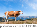animal, cattle, cow 46439106