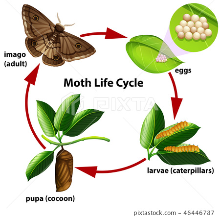 Moth life cycle diagram 46446787